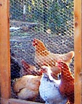 Hens at Raisin Hill Farm